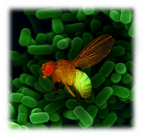 Drosophila and its microbiota, a great interaction model (credit: Melanie Mitchell)