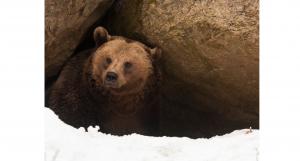 bear nw_bl