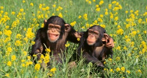chimpanzees_bl