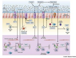 Immune System And Gastrointestinal >> Enteric Nervous System Archives Gut Microbiota For Health