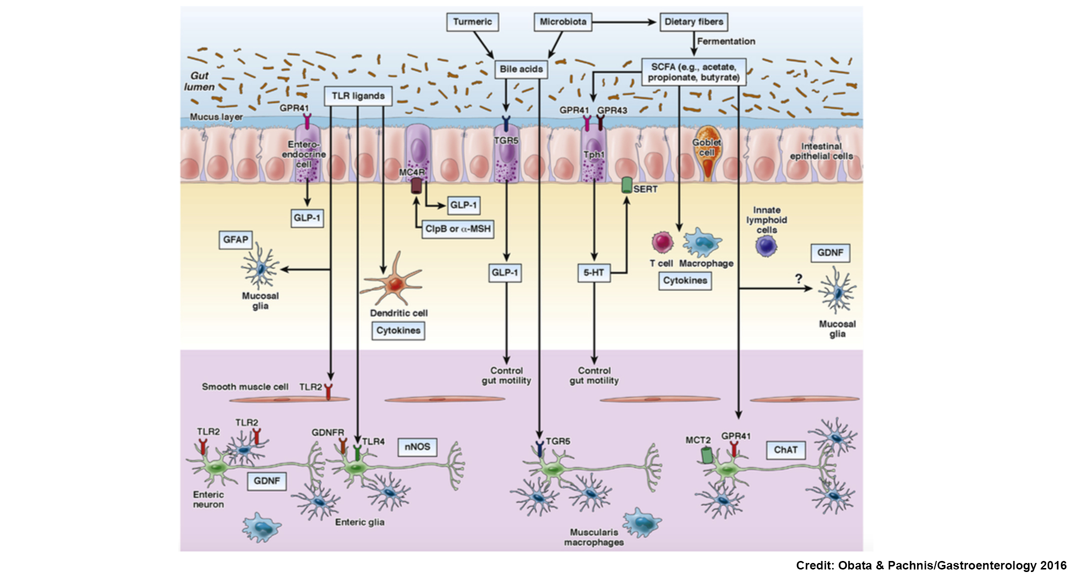 Review Highlights Advances On The Role Of Gut Microbiota And The
